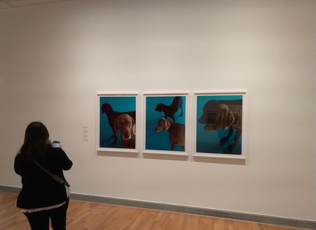 foto, colori, interno, mostra di William Wegman, visitatrice e trittico di fotografie di cani grigi su sfondo blu