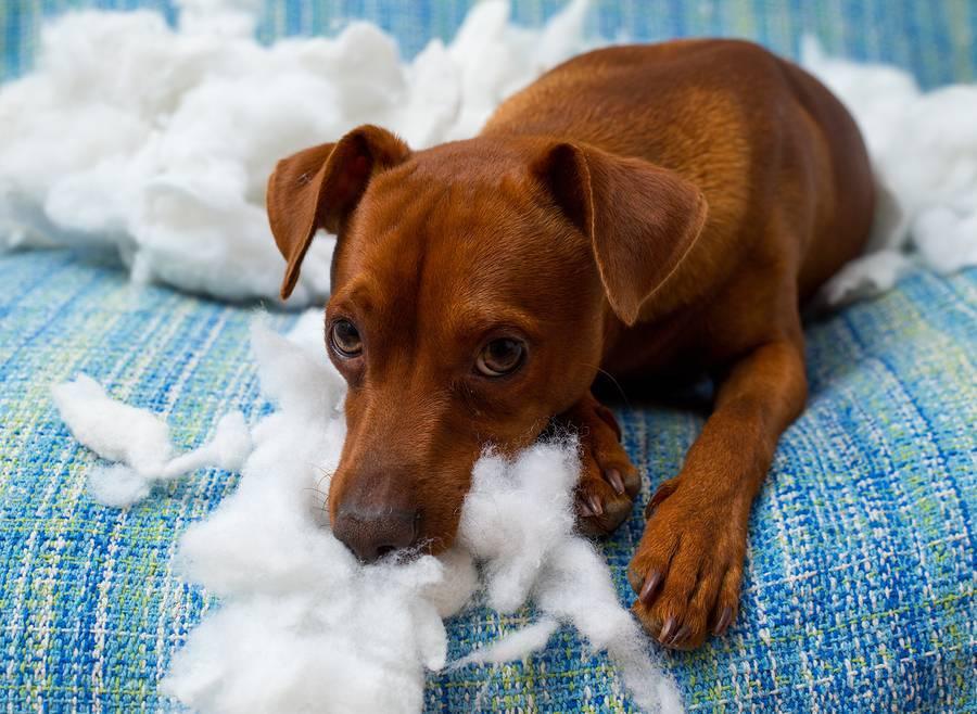 cane con ansia rompe divano