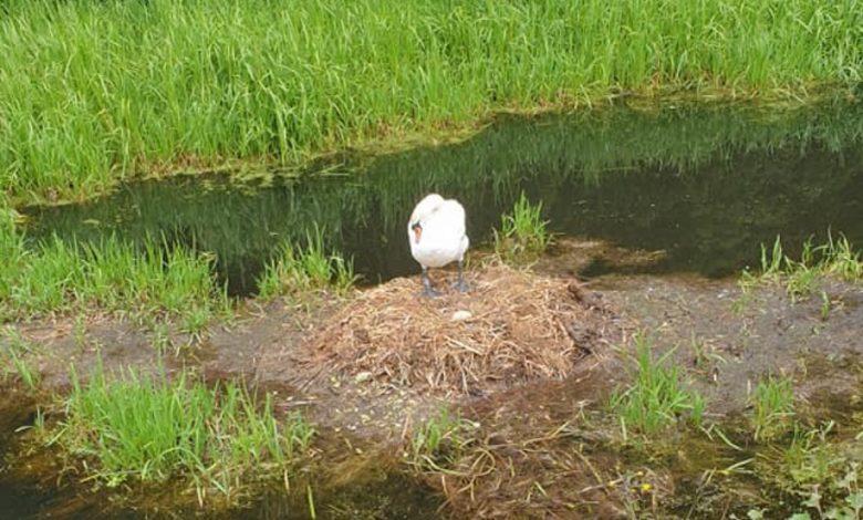 cigno nel suo nido davanti al fiume Kearsley
