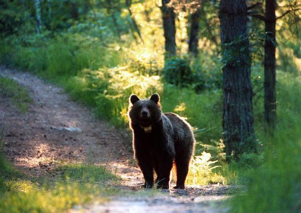 orso in mezzo al bosco