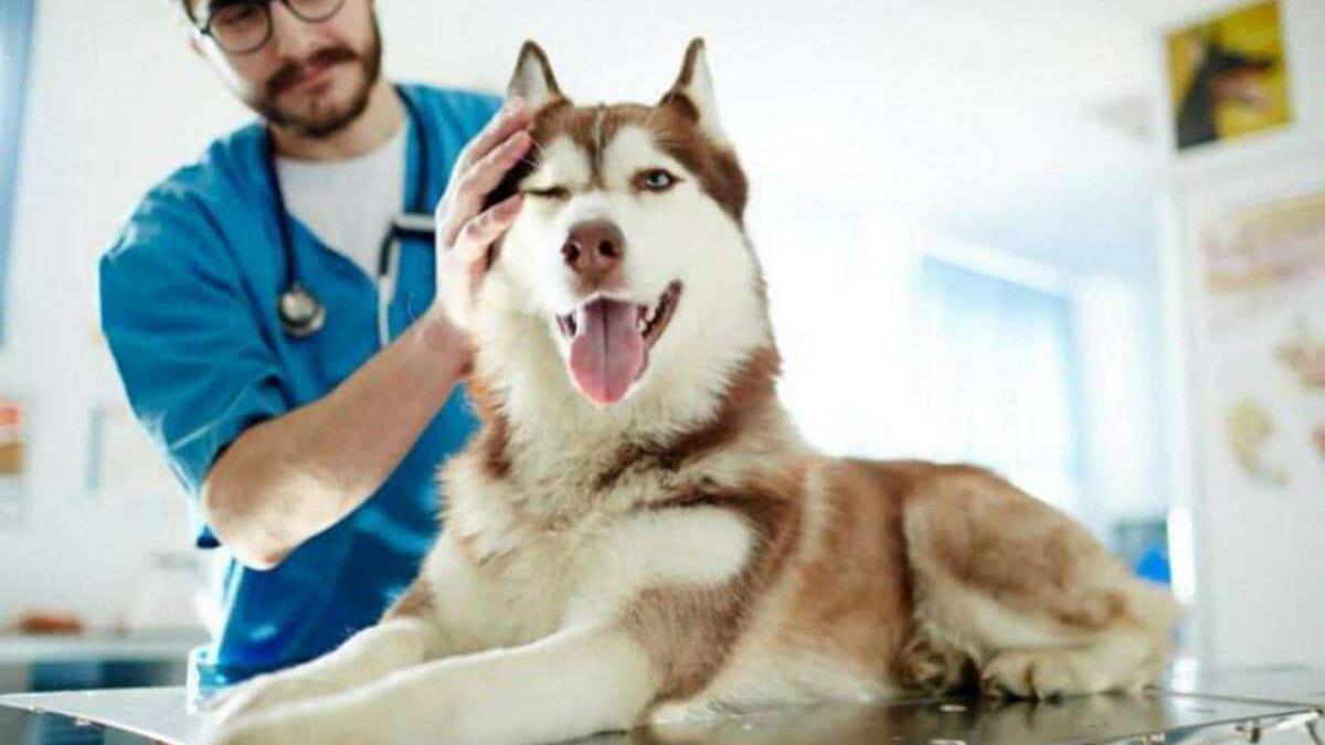 un cane viene visitato dal veterinario