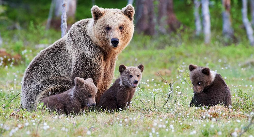 orsa adulta con tre cuccioli di orso