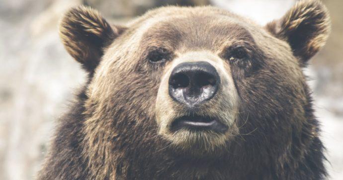 immagine in primo piano di un muso di un orso