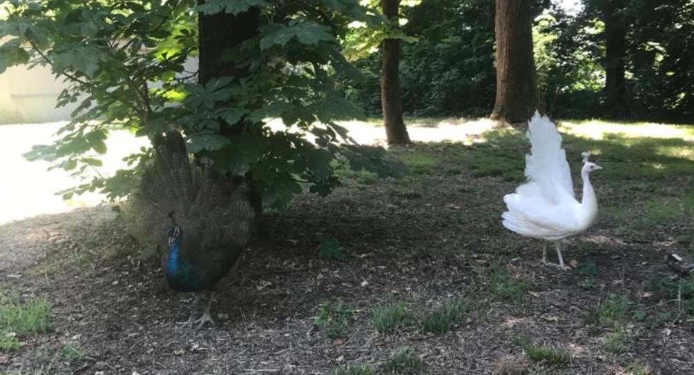 due pavoni, uno bianco e uno con iclassici colori dei pavoni