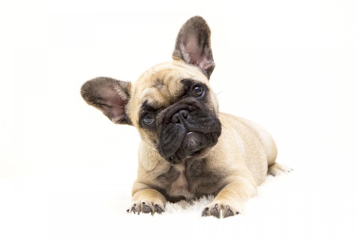 un piccolo cane sdraiato su fondo bianco