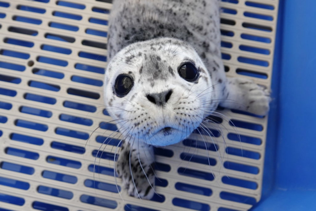 primo piano di Blue la piccola foca