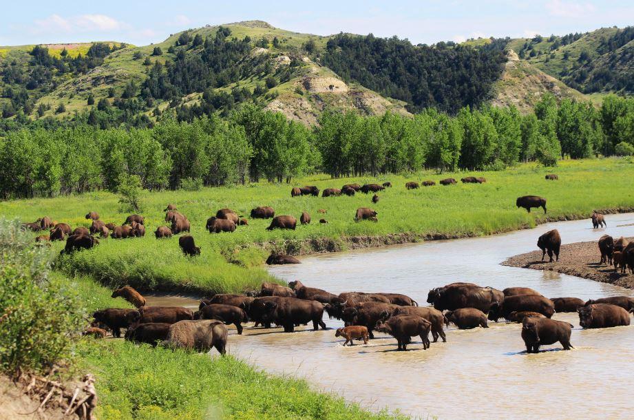 vista del Roosevelt National Park un ampio spazio verde con i bisonti che attraversano l'acqua
