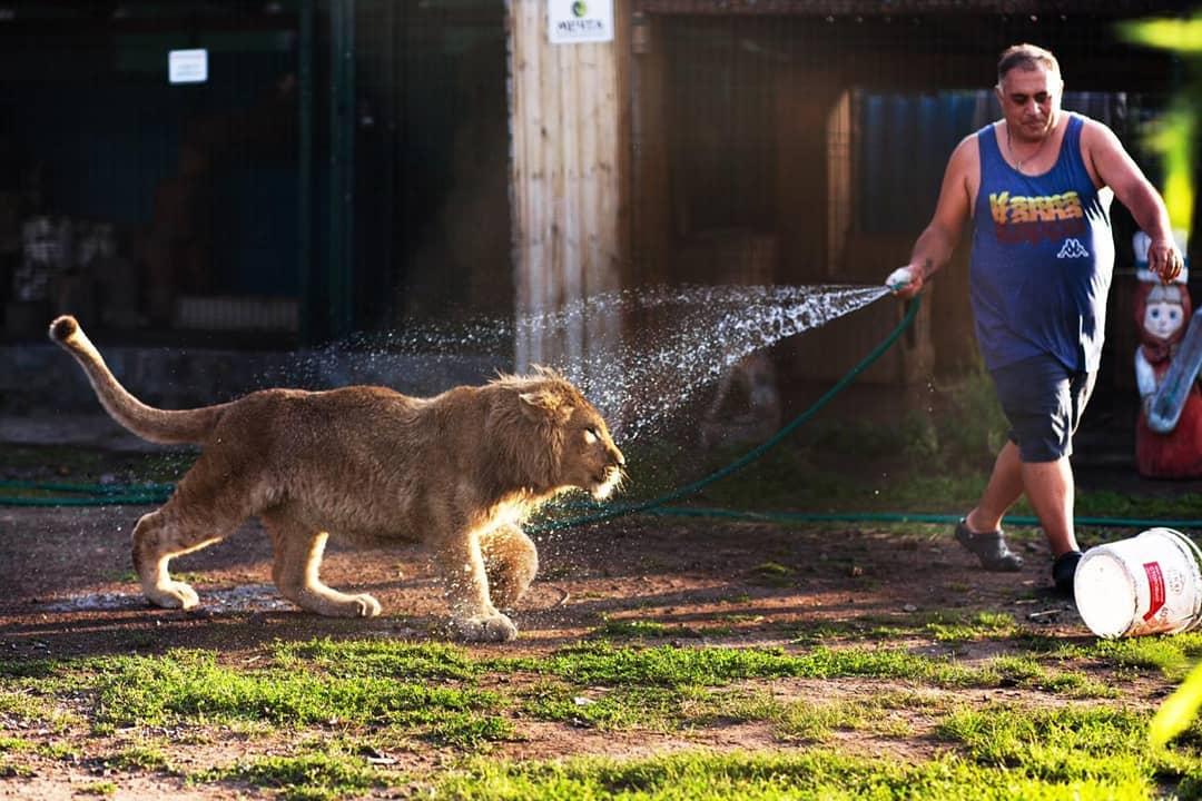 cucciolo di leone che corre, un uomo sulla sinistra lo bagna con l'acqua di una canna