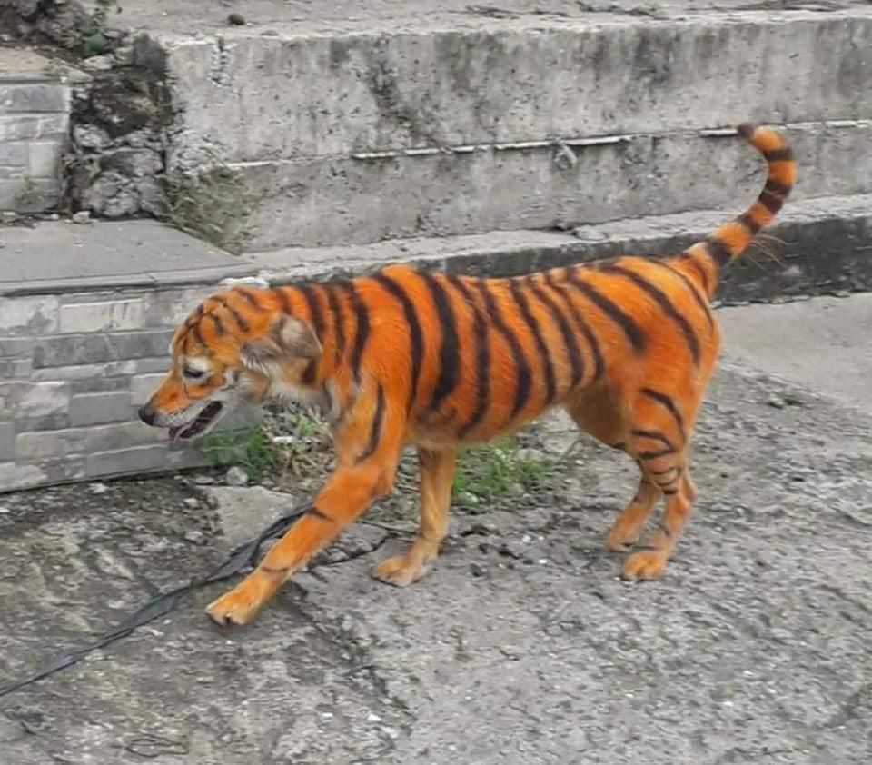 Cane colorato come una tigre mentre passeggia