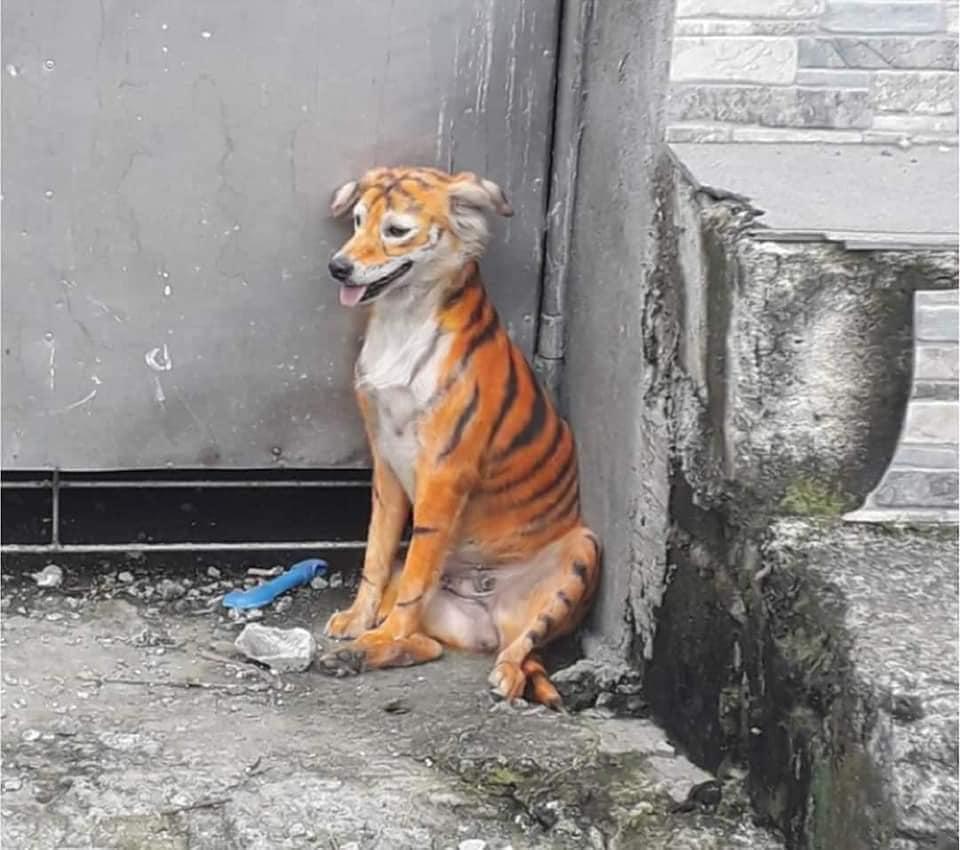 Cane colorato come una tigre seduto in un angolo