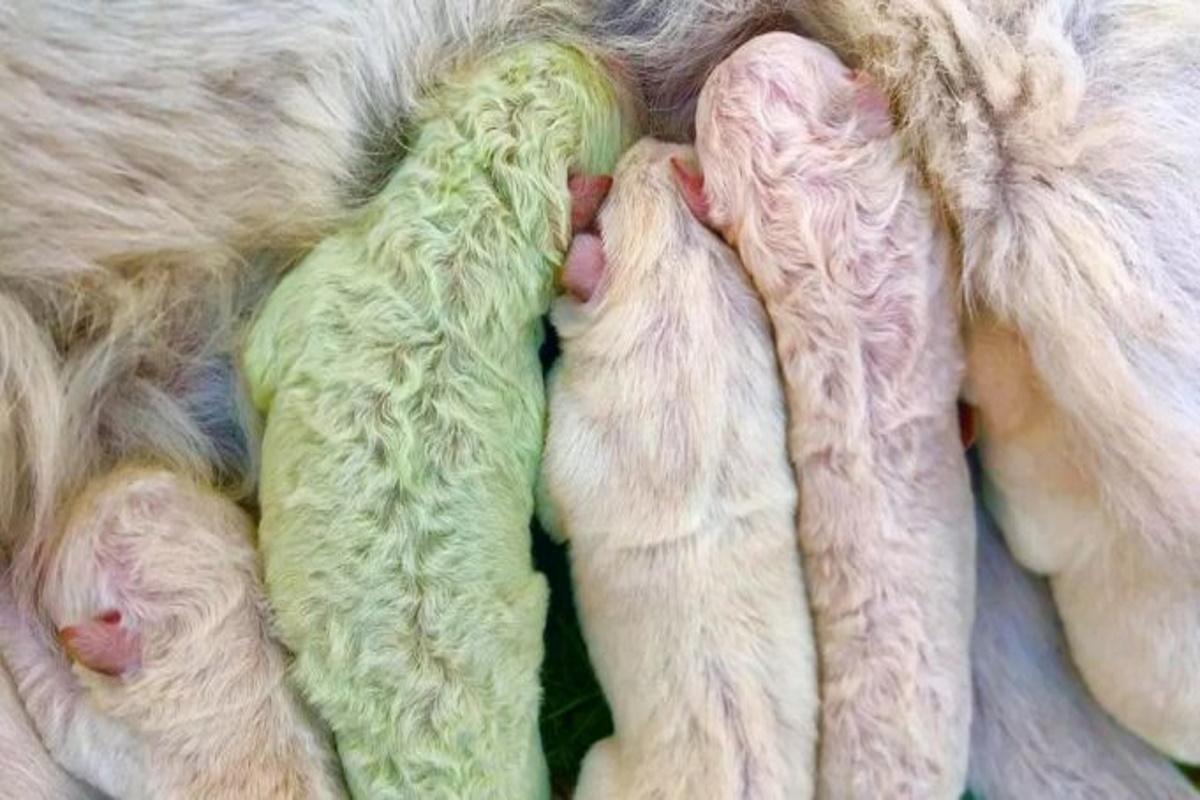 cucciolo di labrador di colore verde insieme ai suoi gratelli e alla mamma