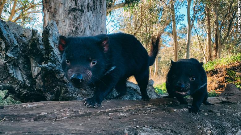 Il diavolo della Tasmania torna in natura due esemplari liberi