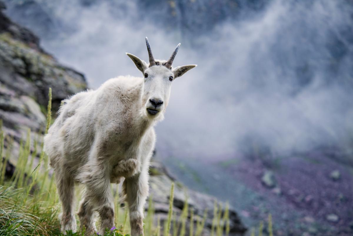 La grandiosa natura degli Stati Uniti primo piano di un caprone