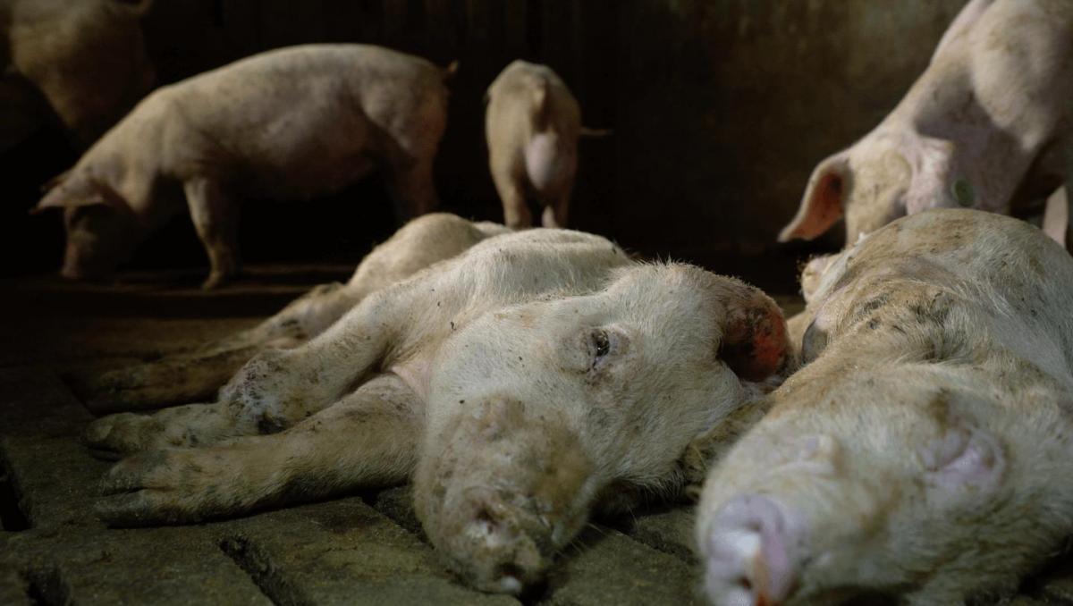 Emergenza animali maiali agonizzanti
